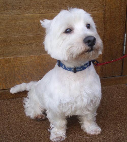 犬種の歴史 スコットランドでキツネやアナグマ、ネズミなどの害獣捕りに活躍していたテ... ウェス