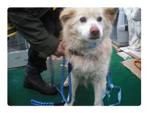 保護された長毛の白い犬