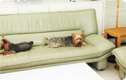 ソファに横たわるアンとタロウ