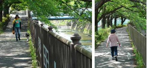 恩田川河畔で愛犬を連れて歩く人